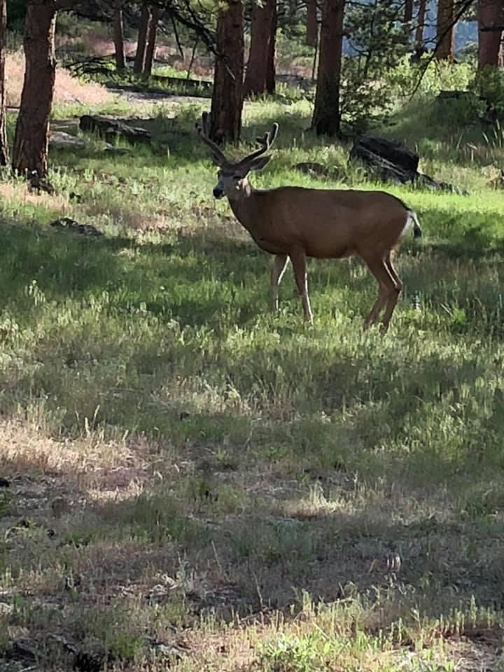 buck by Brown cabin Estes Park July 2019