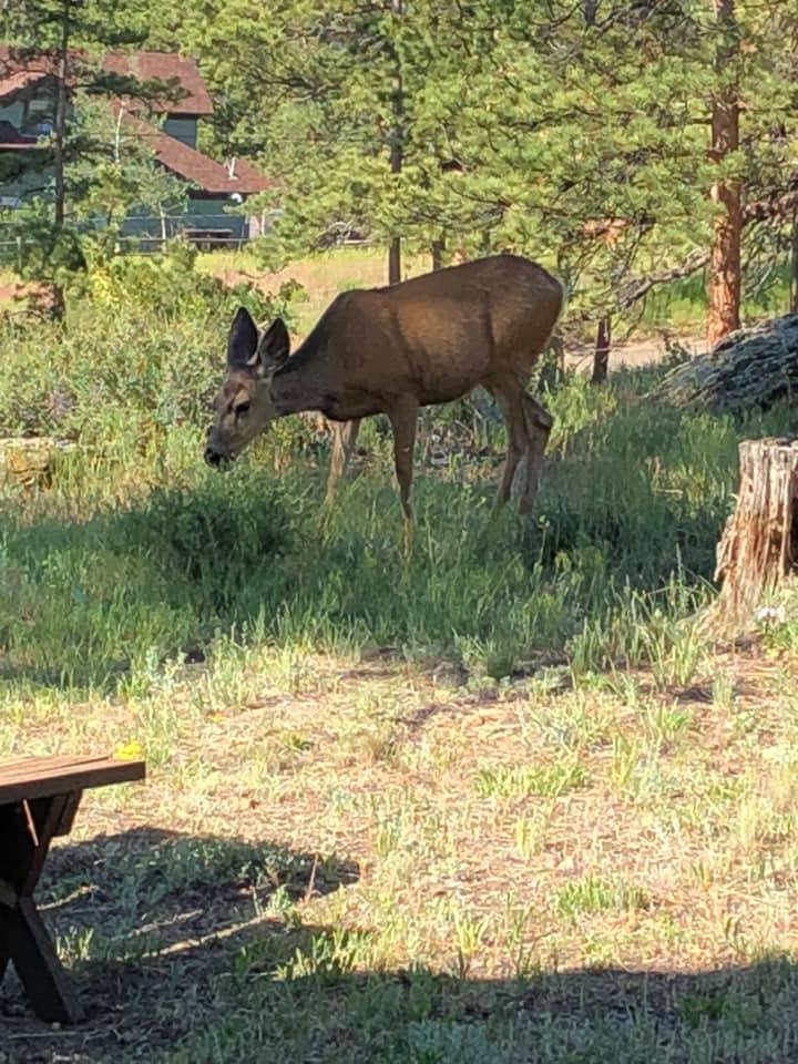 doe 30 feet from our cabin Estes Park July 2019